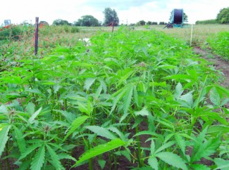 A Yorkshire Field trial of High Oleic Hemp. Credit: Image courtesy of University of York